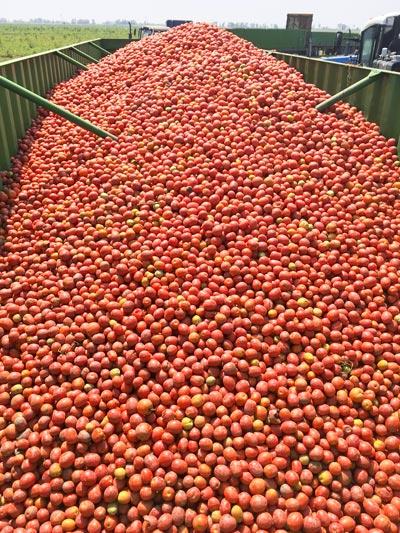 томаты. Когда эти помидоры окажутся насортировочном столе, от них отделят некондиционные — слишком мелкие, неспелые, засохшие насолнце. Такие томаты утилизируют ивпроизводстве никак неиспользуют.