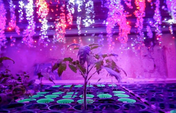 ДЕЛЯНКА. Вгородских теплицах можно выращивать любые растения — овощные иягодные культуры, зелень (петрушку, укроп, лук икинзу) идаже цветы — засахаренные соцветия сегодня особенно востребованы столичными рестораторами. Фото UrbaniEco